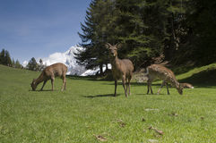 Deer in front of Mont Blanc Stock Image