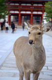 A deer in front of the temple Stock Photography