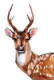 Deer - Front View Stock Photos