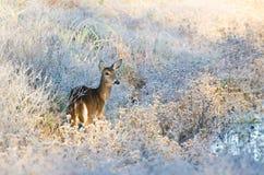 Deer in Frost Covered Marsh Stock Photo