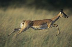 Deer galloping on savannah Stock Image