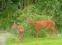 Deer in the garden. An image of a female deer with fawn in a domestic garden eating roses and flowers Royalty Free Stock Images