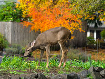 Deer In The Garden. Eating our plants stock photography