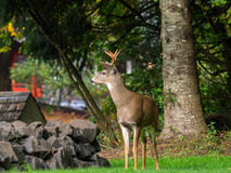 Deer In The Garden. Eating our plants royalty free stock image