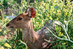 A Deer in the Garden II. A Deer in the Garden in Ancient City, Samut Prakarn Stock Photo