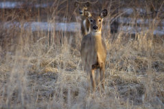 Deer Gazing along Forest Border Royalty Free Stock Photo