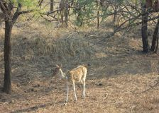 The deer at gir forest of gujarat in India. royalty free stock image
