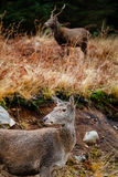 Deer in glen etive Royalty Free Stock Images