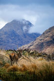 Deer in glen etive Royalty Free Stock Image