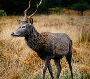 Deer in glen etive Stock Photography