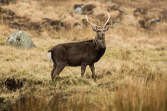 Deer in Glendalough Royalty Free Stock Image