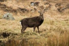 Deer in Glendalough. A wild sika deer crossing a stream in Glendalough, County Wicklow, Ireland Royalty Free Stock Image