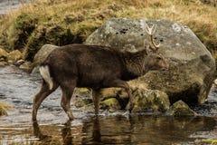 Deer in Glendalough. A wild sika deer crossing a stream in Glendalough, County Wicklow, Ireland Royalty Free Stock Images
