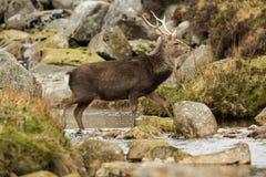 Deer in Glendalough. A wild sika deer crossing a stream in Glendalough, County Wicklow, Ireland Royalty Free Stock Photos