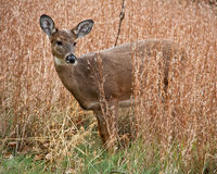 Deer in golden grasses Stock Photography