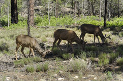Deer in Grand Canyon Royalty Free Stock Photo