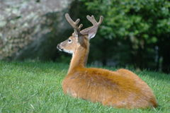 Deer at Grandfather Mountain. In North Carolina Stock Photography