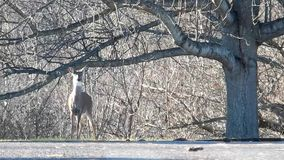 Deer in Grandview State Park, Wild Wonderful WV. The white-tailed deer is West Virginia`s most popular game animal. Grandview State Park, WV Appalachian stock video footage