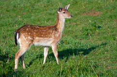 Deer in a Grass Royalty Free Stock Photos