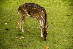 Deer on the grass. Deers on the grass in Indonesian town Bogor Stock Photos