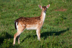 Deer in a Grass Stock Image