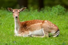 Deer in the grass Stock Photo
