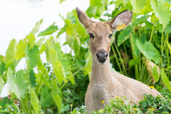 Deer with grass field nature background  Royalty Free Stock Photos