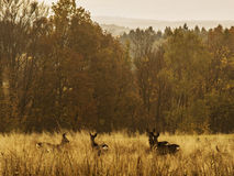 Deer in the grass. With forest on the backside Royalty Free Stock Image