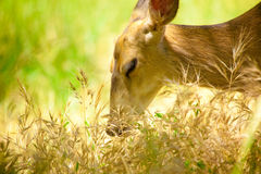 Deer in Grass. Deer Grazing in the Golden Reeds stock image