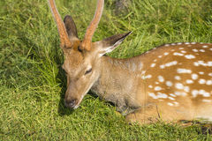 Deer on the grass. Deer on the green grass grass. Summer Stock Images