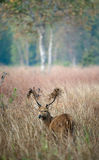 Deer with a grass on horns. Royalty Free Stock Photo