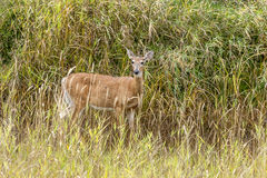 Deer in grass looks at Camera. Royalty Free Stock Image