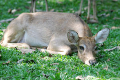 Deer on grass meadow Royalty Free Stock Photos