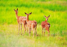 Deer at the grass at the meadow cute royalty free stock image