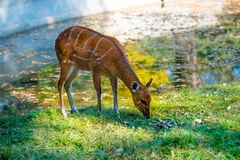 Deer on the grass Stock Image