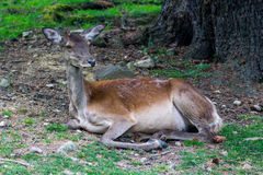 Deer on the grass near the tree. Female sika deer resting in the Carpathian reserve Royalty Free Stock Photography