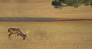 Deer in the grassland Royalty Free Stock Photography