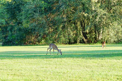 Deer in the grassland Royalty Free Stock Image