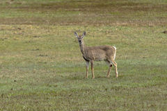 Deer in grassy field. Royalty Free Stock Image