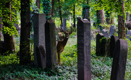 Deer in a Graveyard. Roe deer in a cemetery in Vienna, Austria, surrounded by gravestones Royalty Free Stock Images