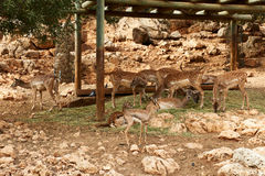 Deer graze. In the Biblical Zoo in Jerusalem. Israel Royalty Free Stock Photography