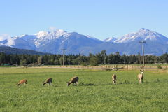 Deer Graze beneath the Rockies Royalty Free Stock Image