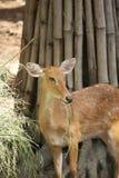 Deer graze. Deer graze with carefully stand Stock Image