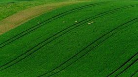 Deer graze in the field stock video footage