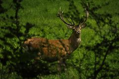 Deer on the graze. Deer on the open graze Royalty Free Stock Photo