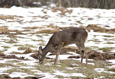 Deer grazes in snow field. Royalty Free Stock Photography