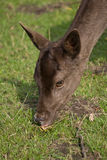 Deer grazing Royalty Free Stock Images