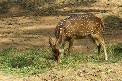Deer grazing Royalty Free Stock Photos