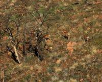 Deer grazing across burned area. Buck deer moving across burned over area near the Stock Photos