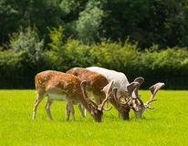 Deer grazing with antlers New Forest England UK in a field in summer Stock Photo